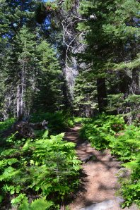 TRAIL through WHITE FIR