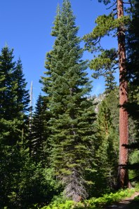 RED FIR & JEFFERY PINE