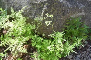 FENDLER'S MEADOW RUE (mixed in with Ferns)