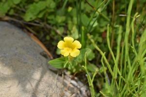 DSC_0759commonMonkeyflower